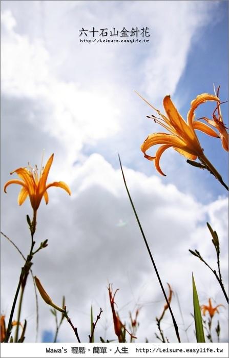 六十石山金針花。花蓮縣富里鄉