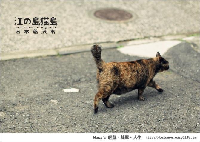 江之島貓島、日本貓島。日本藤澤旅遊、江之島旅遊