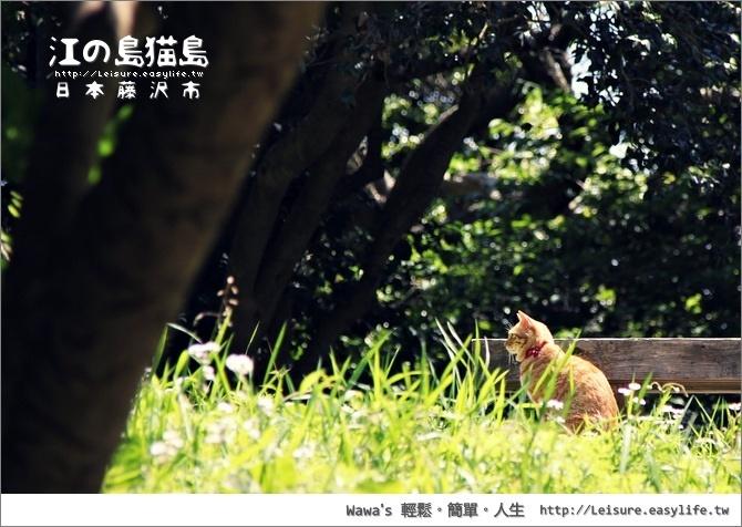 【江之島】貓島!這裡的貓比島上的人口還要多唷!