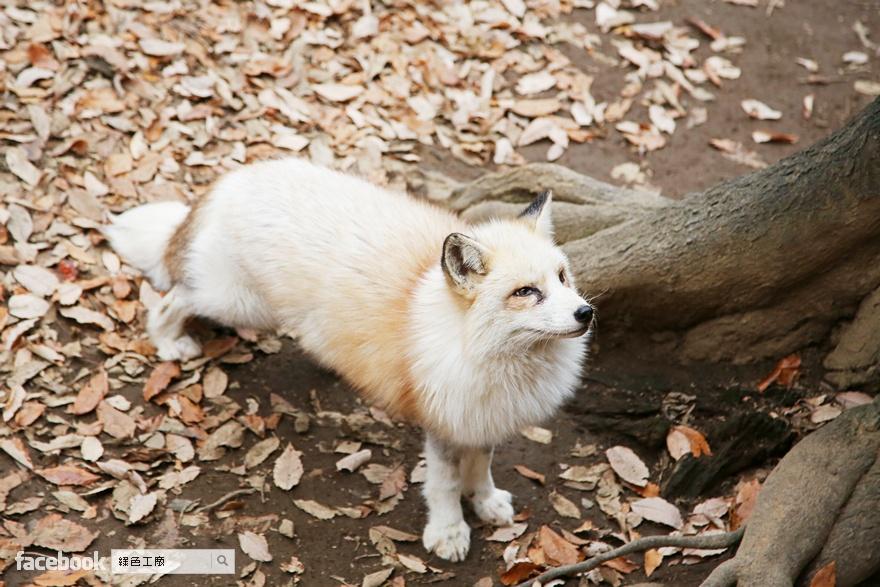 藏王狐狸村,日本東北宮城仙台旅遊