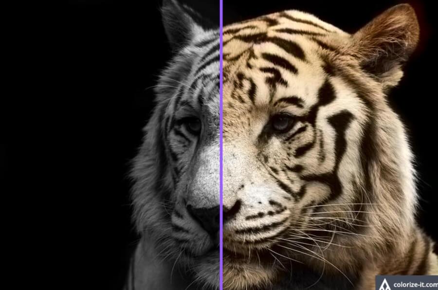 老虎 虎紋 斑紋 黑白 彩色