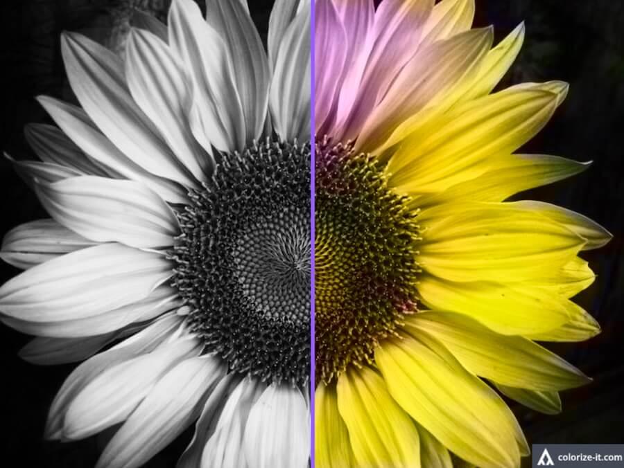 向日葵 太陽花 黑白 彩色