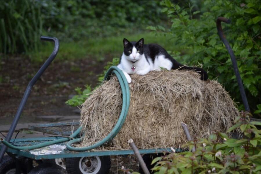 Morguefile 貓咪 圖片 可愛貓咪 下載 黑白貓