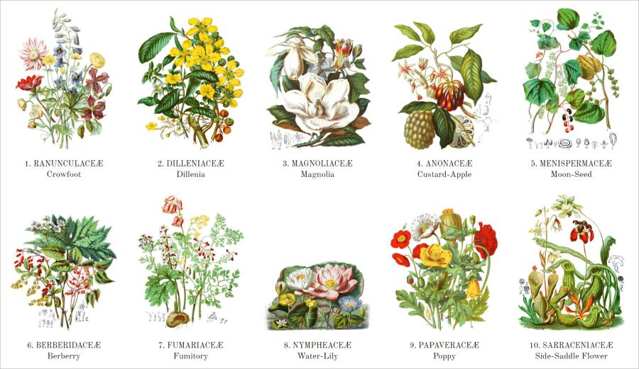19 世紀植物圖鑑